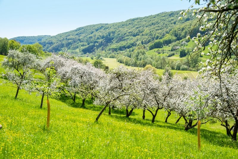 Stock image of 'idyllic spring time scenery showing a district named Hohenlohe including blooming apple trees in Southern Germany'