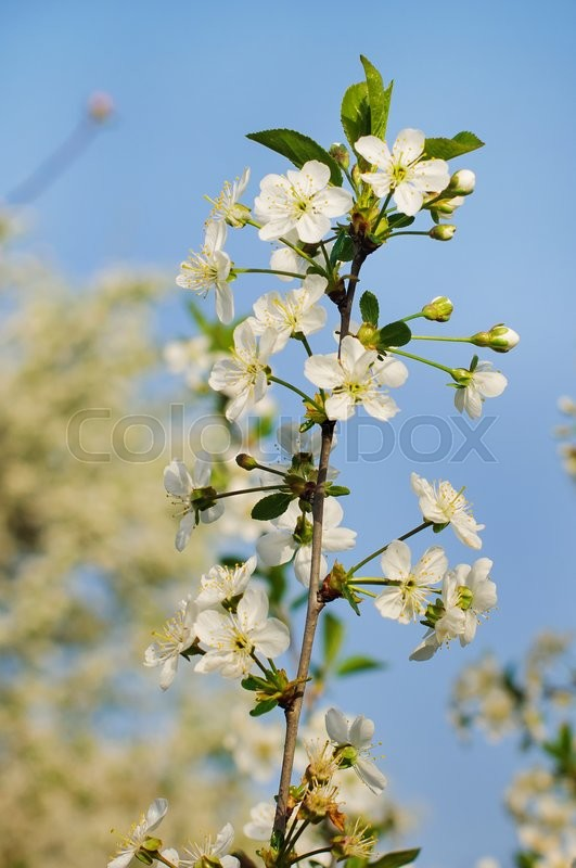 Stock image of 'beautiful closeup spring blossoming tree. Sunny day'