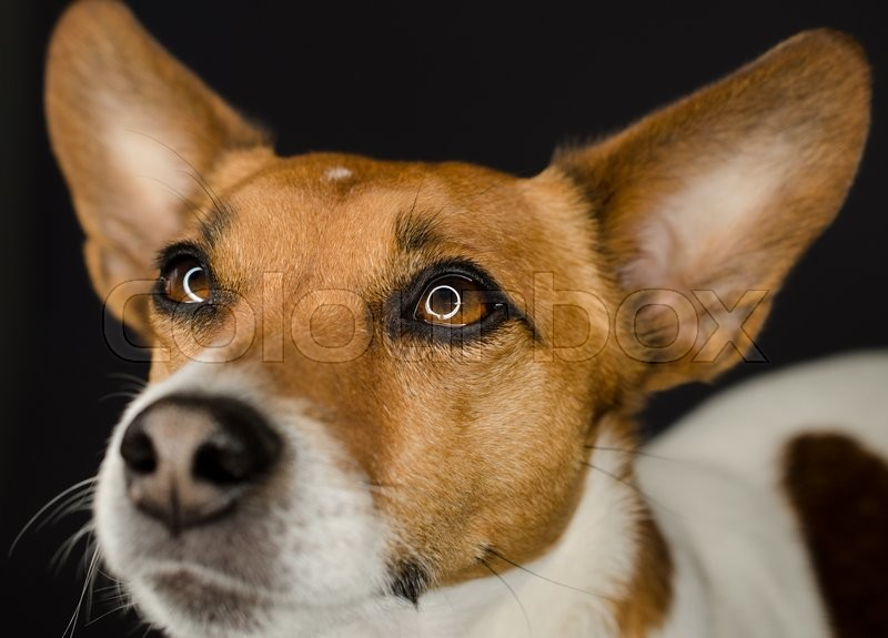 Stock image of 'Close up shot of a Jack Russell Terrier on a dark background'