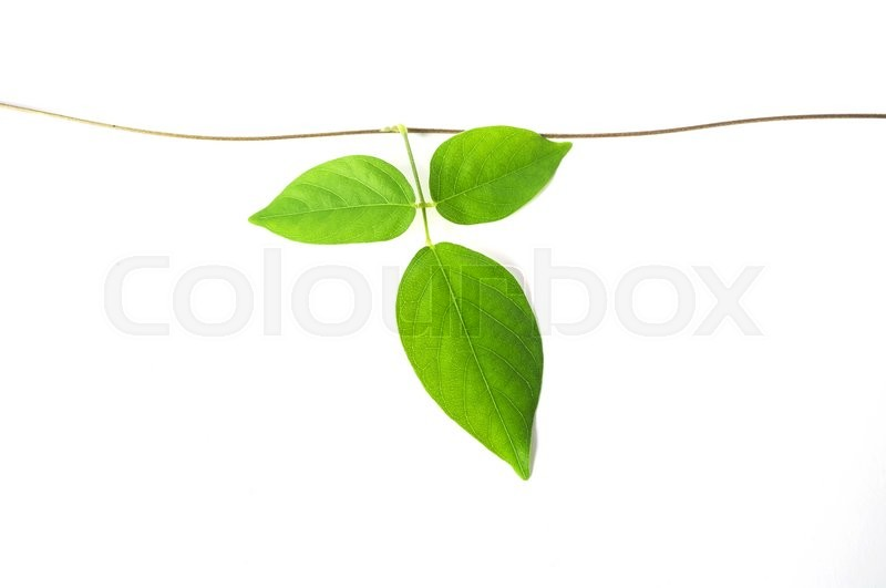 Stock image of 'green vine plant close up on white background'