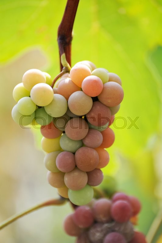 Stock image of 'A bunch of grapes on a background of the vineyard'