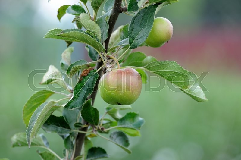 Stock image of 'Apple on a tree branch.'