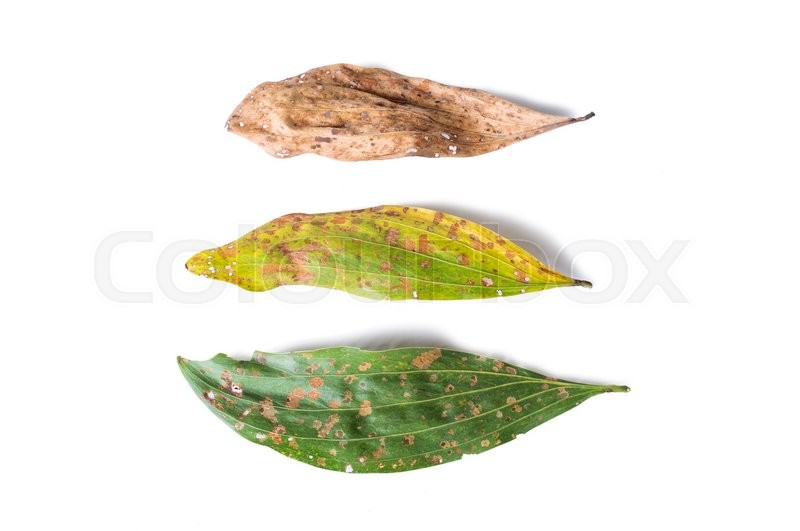 Stock image of 'green and dry leaf full of holes isolated on white background'