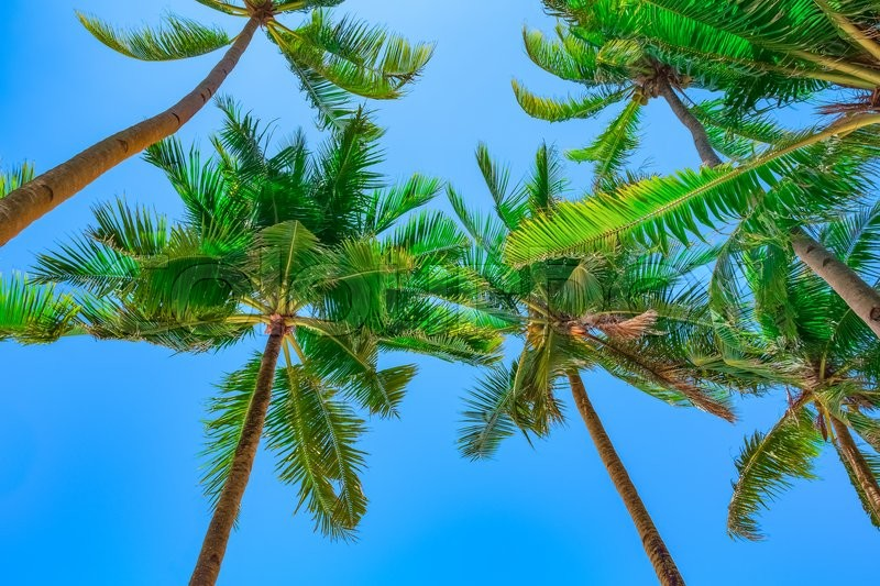 Stock image of 'Coconut palm trees on blue sky background'
