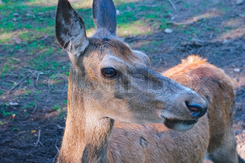 Stock image of 'Portrait of Red Deer hind close up'