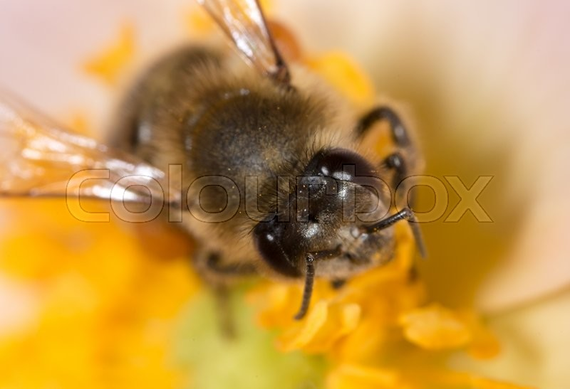 Stock image of 'Bee on a flower. macro'