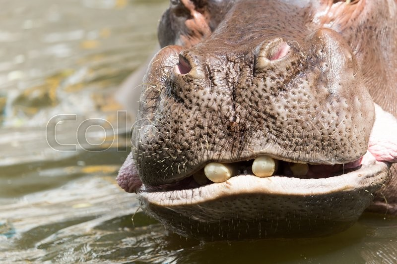 Stock image of 'Portrait of a hippopotamus in the zoo'