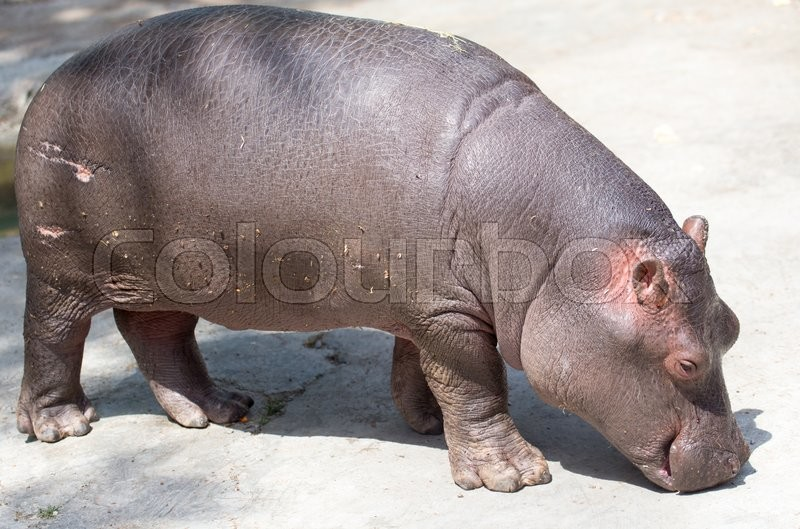 Stock image of 'A small hippopotamus in the zoo'