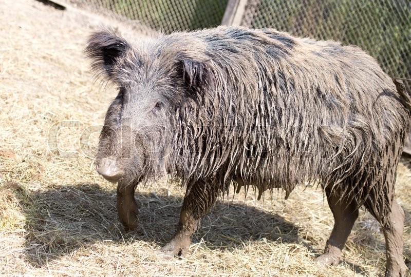 Stock image of 'Wild boar in a park on the nature'