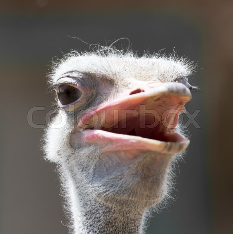 Stock image of 'Portrait of ostrich on the nature'