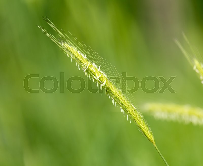 Stock image of 'Green ears of wheat on nature'