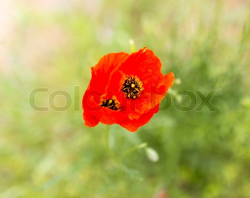 Stock image of 'Flower of red poppy on nature'