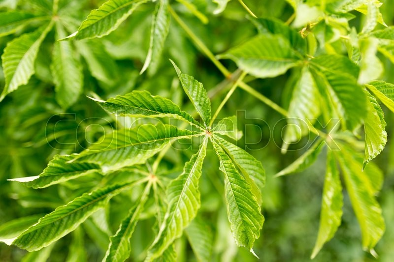 Stock image of 'Green leaves on the tree in nature'