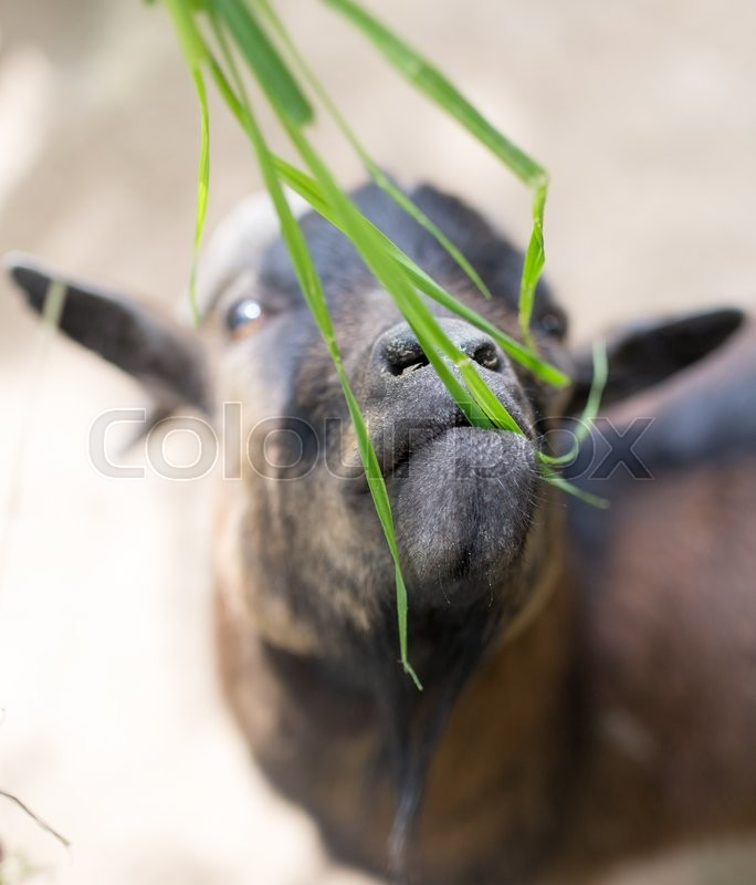Stock image of 'Goat eating grass in nature'