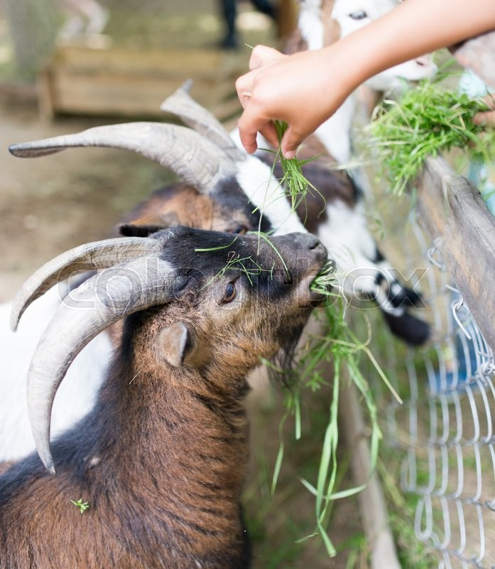 Stock image of 'Goat eating grass with his hands'