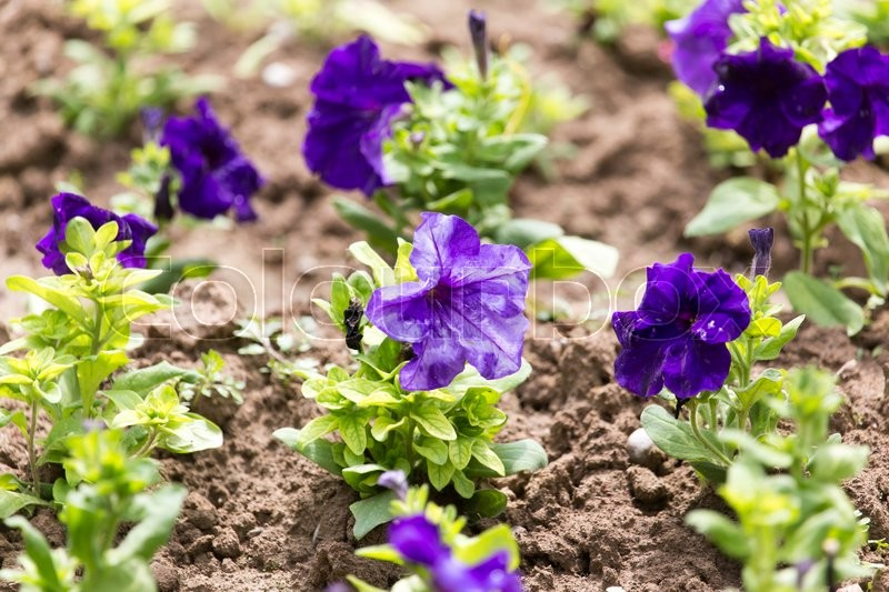 Stock image of 'Beautiful blue flower on nature'