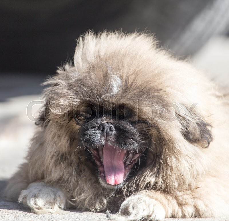 Stock image of 'Portrait of a fluffy dog'
