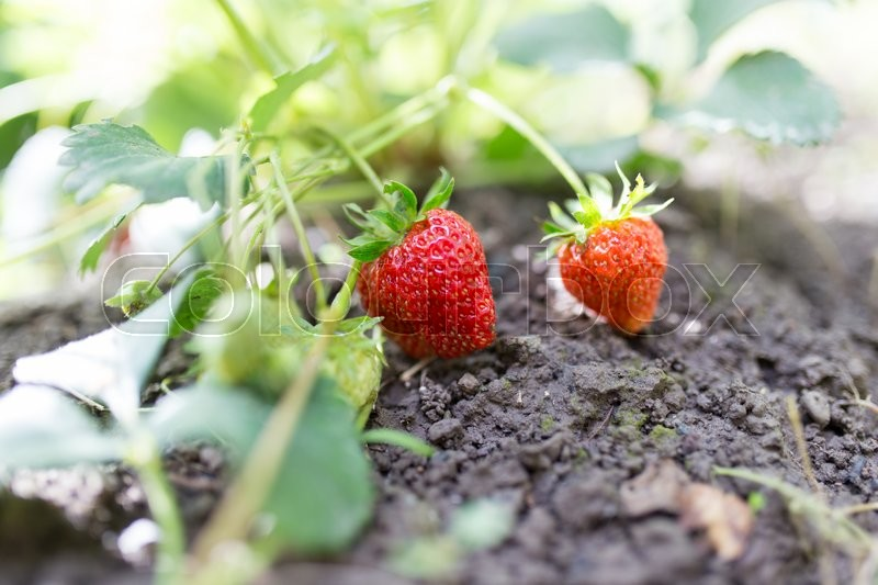 Stock image of 'Red strawberries in the garden'