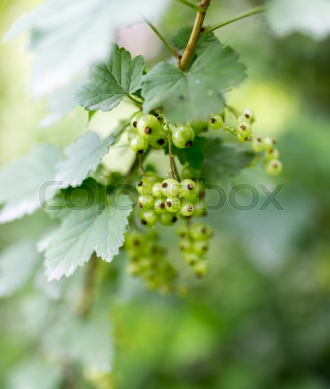 Stock image of 'Green unripe currants in the garden'