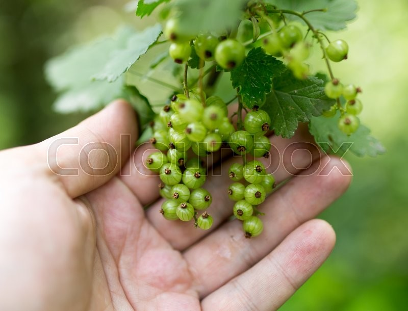 Stock image of 'Green currant in hand on nature'