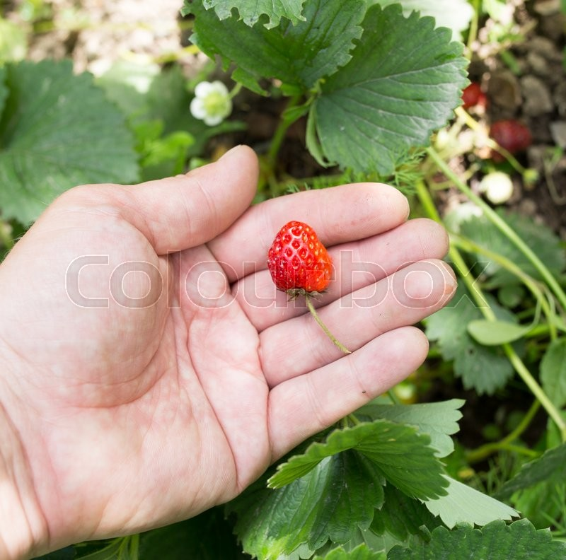 Stock image of 'Strawberry in hand on nature'