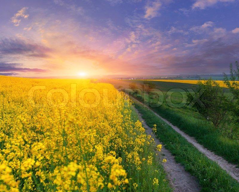 beautiful yellow field landscape - photo #26