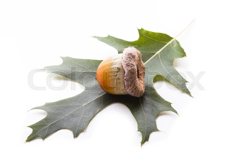 Stock image of 'One big acorn lying on a leaf isolated on a white background'