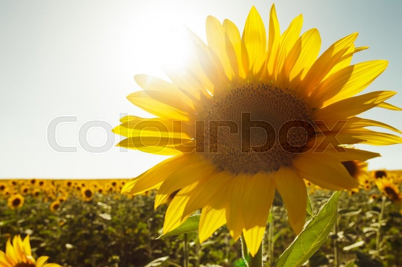 Stock image of 'sunflower field in the summer and clear blue sky'