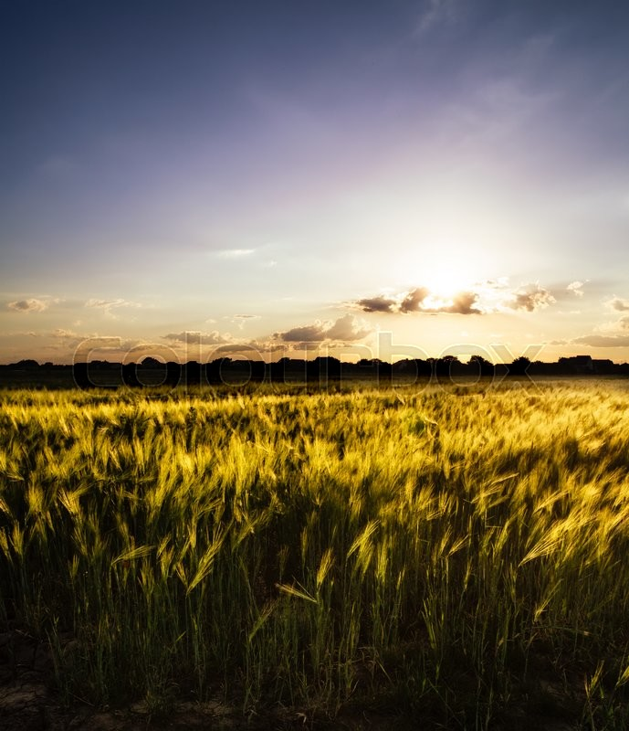 Stock image of 'Wheat field over sky with sundown. Nature landscape'