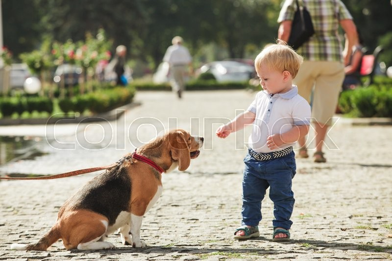 Stock image of 'Little boy is feeding the beagle dog in the walking'