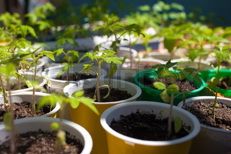 Stock image of 'Tomato seedlings grown in pots before planting to garden'