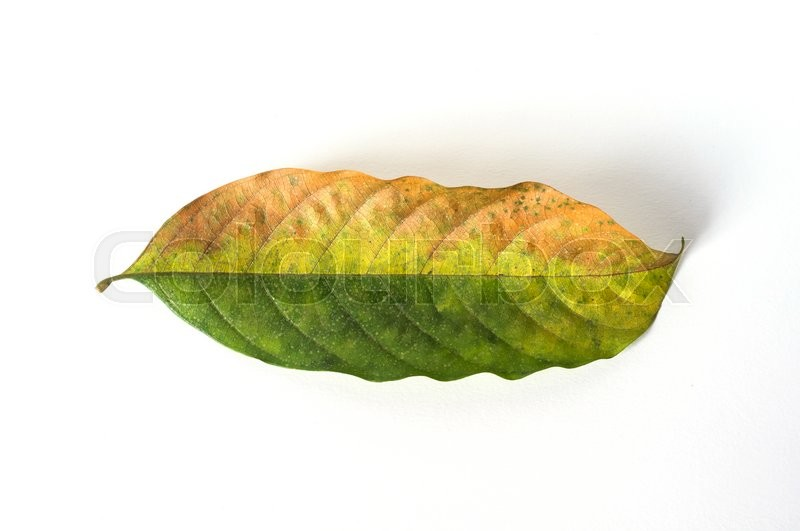 Stock image of 'dry leaves on white background, lansium parasiticum leaves'