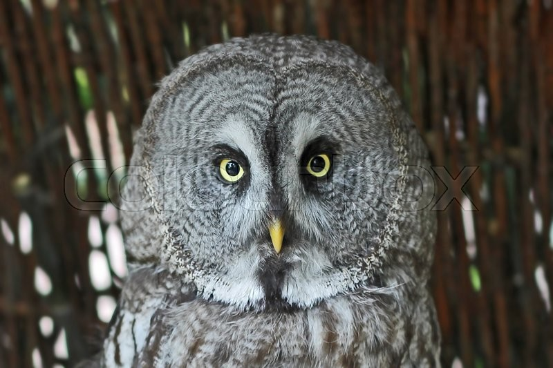 Stock image of 'Owl Looking Straight into the Camera with a hazel twig fence behind.'