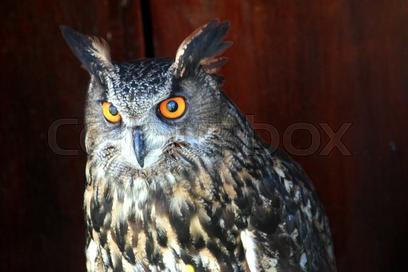 Stock image of 'Long Eared Owl Side of top half of Torso with wooden fence in the background.'