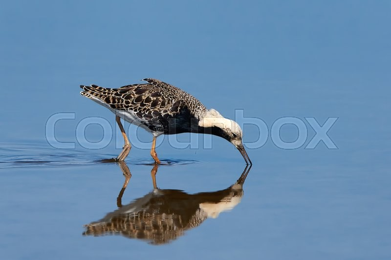 Stock image of 'Ruff looking for food in its habitat with blue water in the background'
