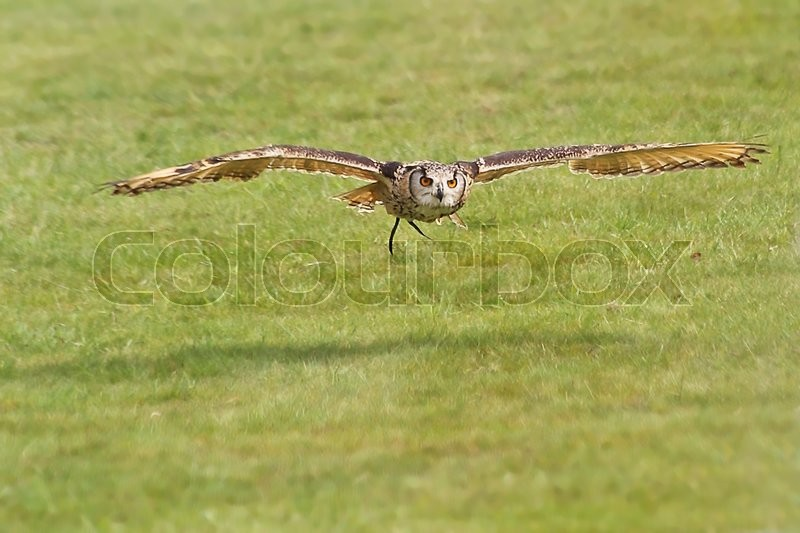Stock image of 'A falconer's owl flying low to the ground over grass at the start of a display.'