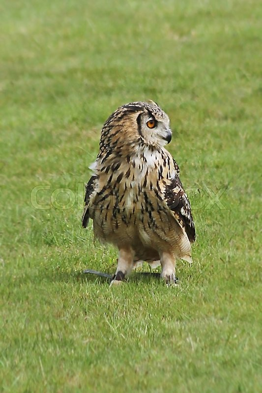 Stock image of 'A falconer's owl stood on grass looking sideways.'