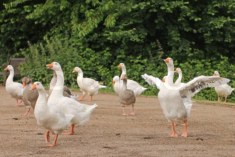 Stock image of 'A Flock of Wild Geese on the Towpath at Iffley Lock Oxford.'