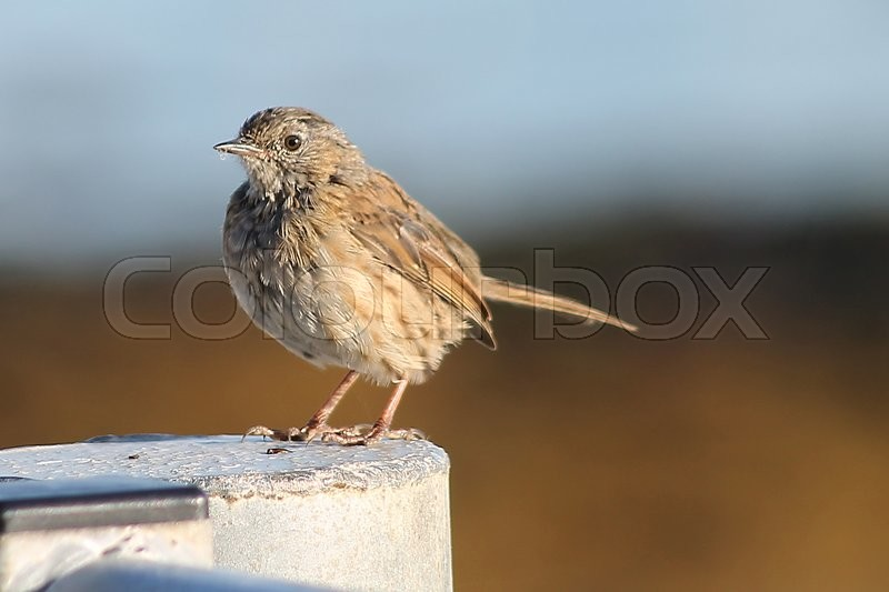 Stock image of 'A Dunock also known as a hedge sparrow perched on a gate post. A lot of birds like this are often refered to as LBJ's, Little Brown Jobs.'