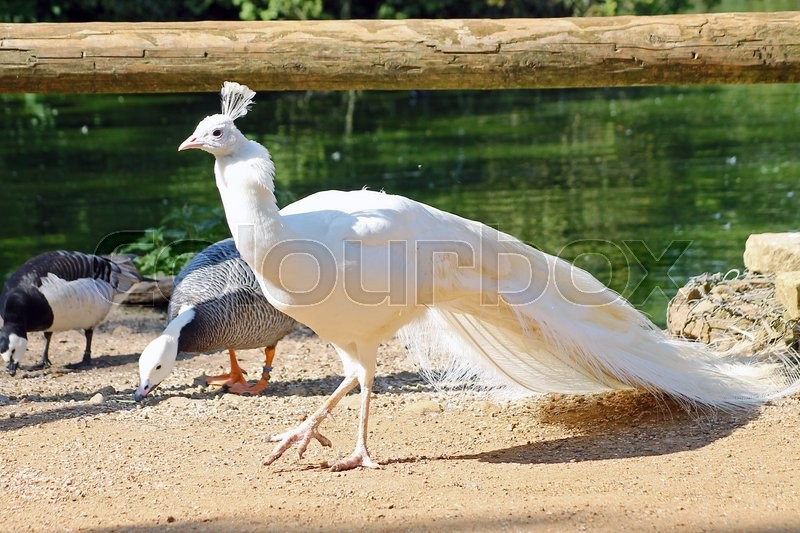 Stock image of 'White Peacock Walking by a Pond with other birds on a gravel path.'