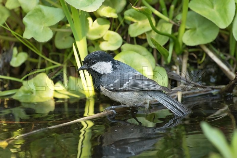 Stock image of 'Small coal tit sitting on a stick just obove the water surface with the tail dipped and water plants in the background'