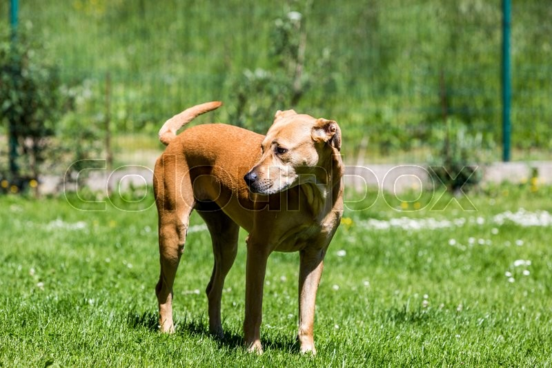 Stock image of 'View of a brown mixed shelter labrador dog on a meadow'