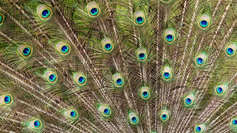 Stock image of 'Detail view of a colorful peacock standing in a zoo'