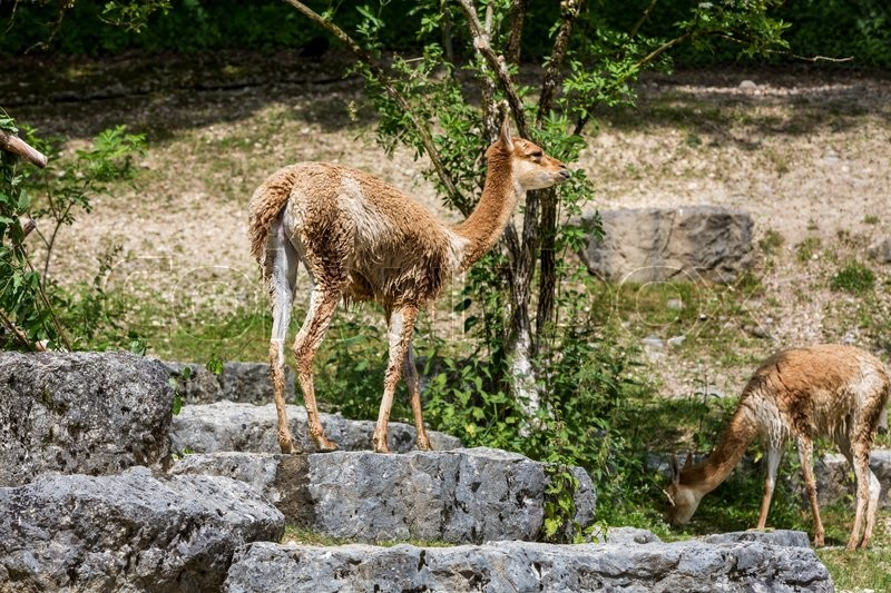 Stock image of 'View of a brown Lama Vicugna in a Zoo garden in summer 2015'