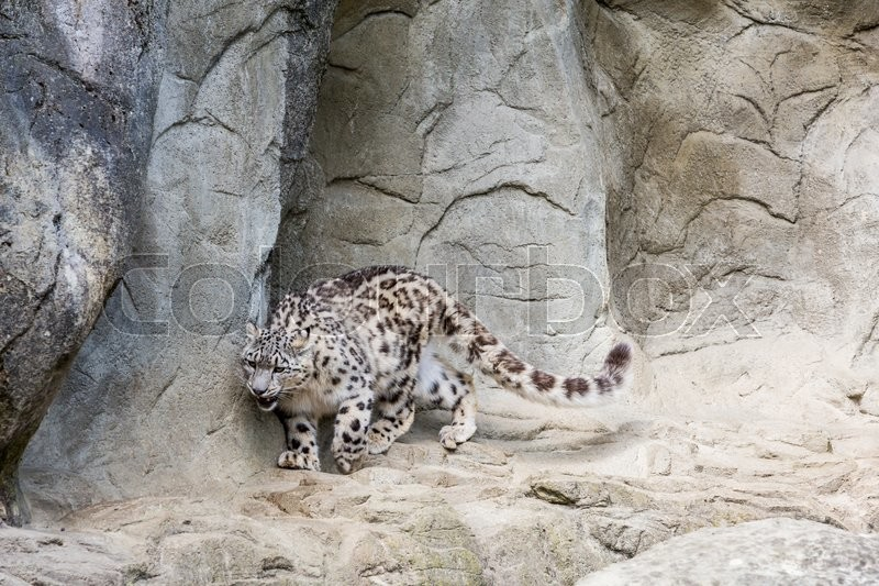 Stock image of 'View of a Snow Leopard in a zoological garden in summer 2015'