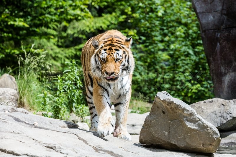 Stock image of 'View of Tiger eating in a swiss zoo'