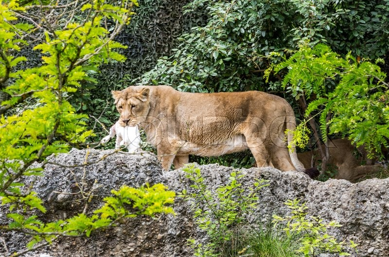 Stock image of 'View of a lion in a swiss zoo eating a rabbit'