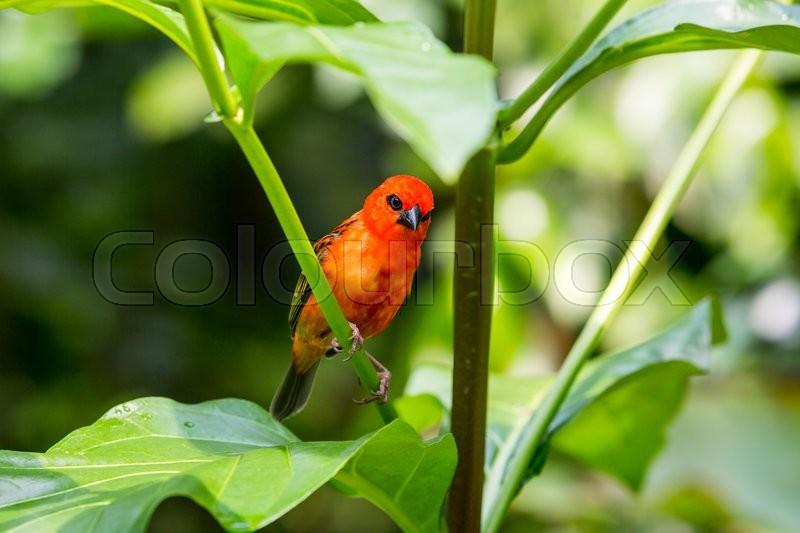 Stock image of 'Detail view of a red tropical cardinal bird in a swiss zoo'