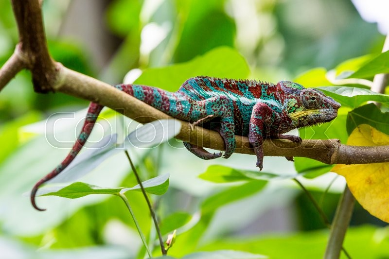 Stock image of 'View of a green chameleon on a branch in a swiss zoo'