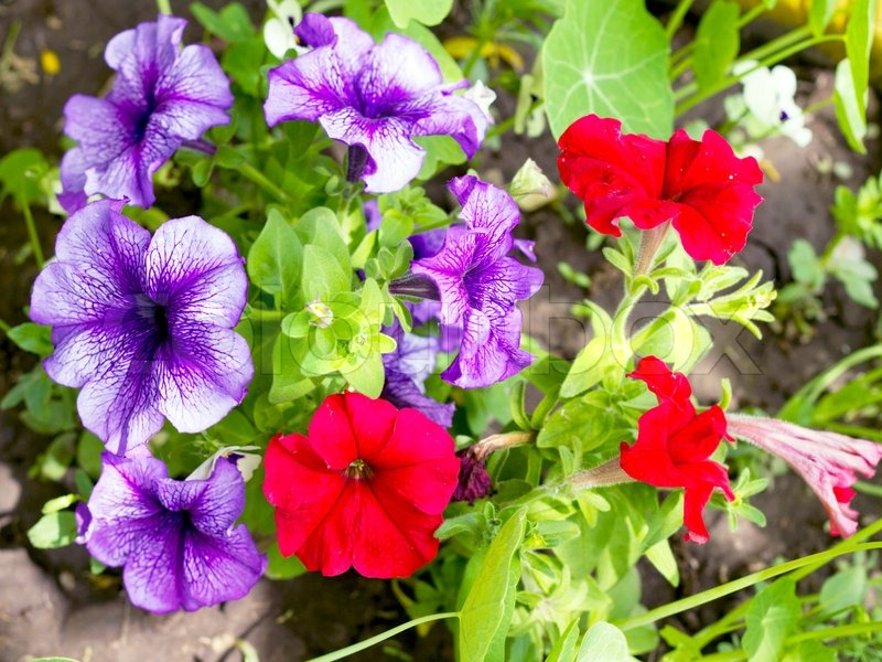 Image Petunia Flower Beds Of Red And Stock Photo Colourbox